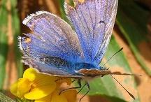 Borboletas ou Butterfly