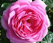 Rose Collection  / Take a look at our new seaosn roses, now available for purchase. #roses #garden #gardening