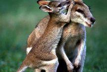 Mes copains les marsupiaux !