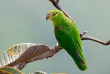 Nannopsittaca / Il genere nannopsittaca comprende due specie di pappagallini verdi di piccola taglia, del tutto sconosciuti in cattività. Si tratta dei pappagallini più piccoli di tutto il Sudamerica, e quelli che sono stati scoperti e catalogati più recentemente. http://www.pappagallinelmondo.it/nannopsittaca.html