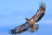 Eagle of Japan