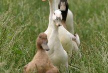Kaczki i gęsi