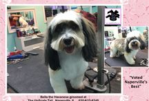 Havanese Grooming / Groomed at The UpScale Tail, Pet Grooming Salon, Naperville, IL www.theupscaletail.com