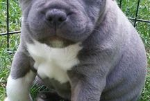 Staffies / Staffies are so cute I love them!!