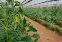 Imágenes de cultivos / Fotos de cultivos en invernadero y al aire libre.