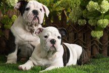 Bulldog Englez de vanzare / Vindem catei Bulldog Englez, cu sau fara pedigree, masculi si femele la 2 luni, vaccinati si deparazitati, carnet de sanatate, pasaport, microcip. Garantie de sanatate si de rasa prin contract. Transport gratuit. Pentru informatii suplimentare va rugam sa ne contactati. Va multumim!