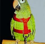 Bird Harnesses / Bird Harnesses let you take your bird outside safely.  See two styles, the Aviator Harness that lets your bird fly safely and the Fred Bird Kaylor Harness that doesn't let your bird fly off. / by BirdSupplies.com