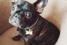 Cezar the French Bulldog