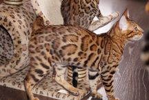 Beautiful bengal male kitten Anteros sold to Bahrain / Fantastically beautiful bengal male kitten Anteros sold to Bahrain, HCM parents - free, parents Fiv and Felv - negative