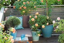 how to grow roses on patio balcony etc