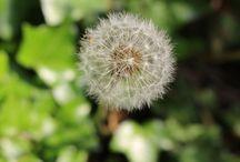 Dandelions (Taraxacum)