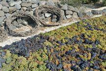 Harvest in Santorini