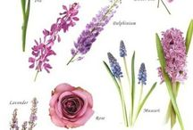 Viola Lilla Milka - Violet flowers
