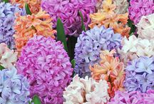 HYACINTH / Hyacinthus is a small genus of bulbous flowering plants in the family Asparagaceae, subfamily Scilloideae, that are commonly called hyacinths. The genus is native to the eastern Mediterranean (from south Turkey through Lebanon and Syria to northern Israel), Iraq, north-east Iran, and Turkmenistan.  (Wikipedia)