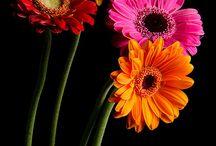 Flowers and Gerber Daisies / Varios