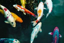 Koi ponds and fish / Display various solutions for decorating ponds and various kinds of Koi