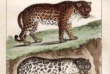 Leopard illustrations / Leopard illustrations