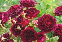 Le Rose Inglesi