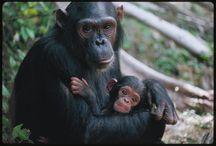 gorily, šimpanzi a jejich novorozenci / Primáti a jejich novorozená mláďata