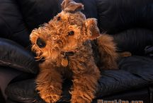 Airedaleterriers