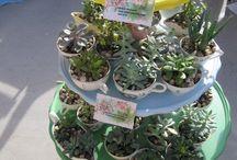 succulents n cactus
