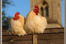Chickens and Roosters / by Elaine Engler