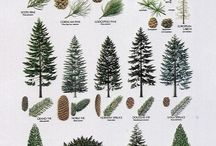 PINE TREES AND OTHER CONIFERS