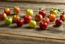 Apples for Health / Studies suggest eating apples regularly may help improve health.