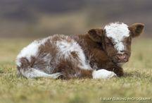 Shorthorn / Cows