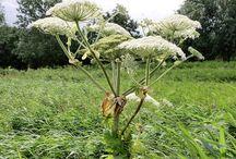 Mezei növények