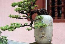Bonsai contoh