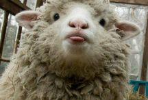 προβατααακιααα