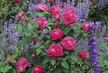 Roses, campanulas and purple flowers