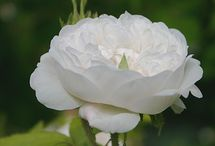 Roses / Old fashioned - scented - fragrant - lushly beautiful
