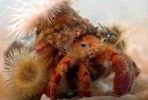 Real Crabs / Photographs and illustrations of decorator crabs and similar creatures / by Lynn Tomlinson