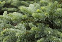 Evergreens / Slow growing, ornamental