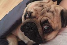 My pug / Photo my dog