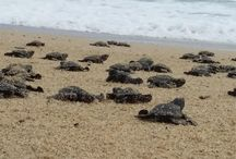 Baby Sea turtles are being released by the hundreds in Todos Santos! / http://todossantos.cc/about/hundreds-of-baby-sea-turtles-being-released-every-week/