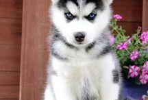 Cachorros Husky Siberiano