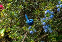 Splendid Fairy Wrens / Splendid Fairy-wrens or more commonly known as Blue wrens. See our blog www.celestineretreat.com/blog.html Celestine Retreat Denmark Western Australia