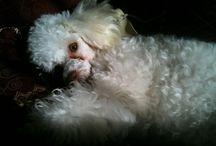 Mi pequeña Cocó / fotos de mi bella caniche mini toy
