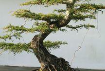 bonsai's