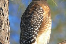 adult Red-shouldered Hawk perches in a Florida pine tree.