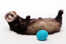 I Can Haz Ferrets / Post your ferret pics to our board and enjoy!