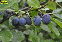 Plommon / Ett urval sorter ur vårt plommonsortiment