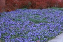 Front Garden / Plants that will tolerate shade and under-tree conditions.  Mix of perennials and annuals.  Mix of Spring and Summer generally in our wedding palate of soft pinks, purples, blues and whites.  Cottage garden style.