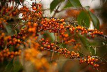 """Колорит """"Теплая осень"""" - (warm true) autumn / Краски теплой осенней палитры, представители колорита, ассоциации. Краски  палитры в  первую  очередь  теплые,  в  них  прослеживается теплота,  """"освещенность  солнцем"""", охристый  подтон. При  этом  цвета  довольно  смягченные,  спокойные, природные.  Это  """"классическая  осень"""" четырехсезонной  системы. Самая  важная  характеристика - теплота (золотистая  примесь), дополнительная - мягкость (цвета """"не яркие""""). Светлота  и  темнота  не  важны."""