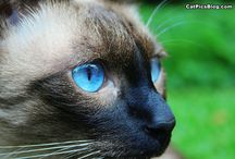 Colorpoint Cats (Siamese etc.) / Colorpointed cats are those amazing felines with darker paws, tail and face. You may know then as Siamese but actually many breeds can have a colorpoint coat color as do many domestic cats that don't belong to any particular breed.