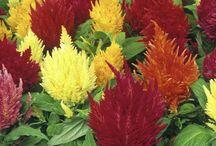 Fleurs Images / Dictionnaire de fleurs