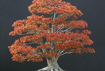 Bonsai - Trees